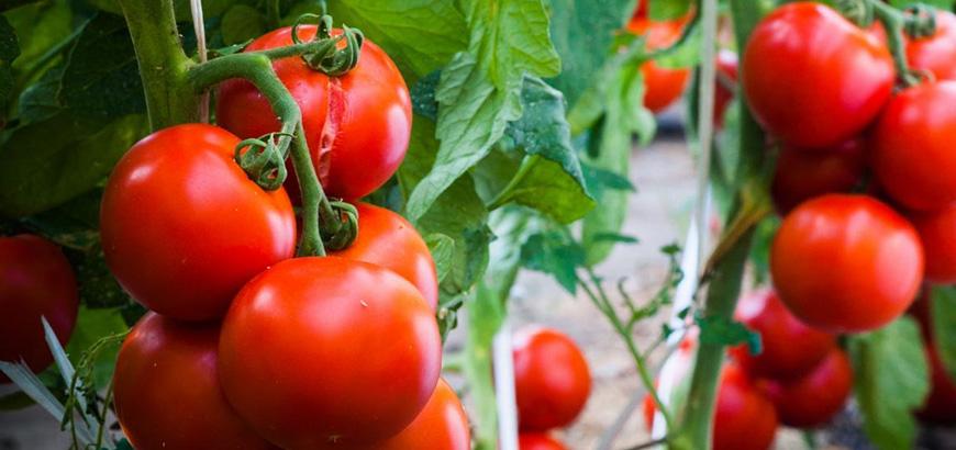 گوجه فرنگی ضد کرونا